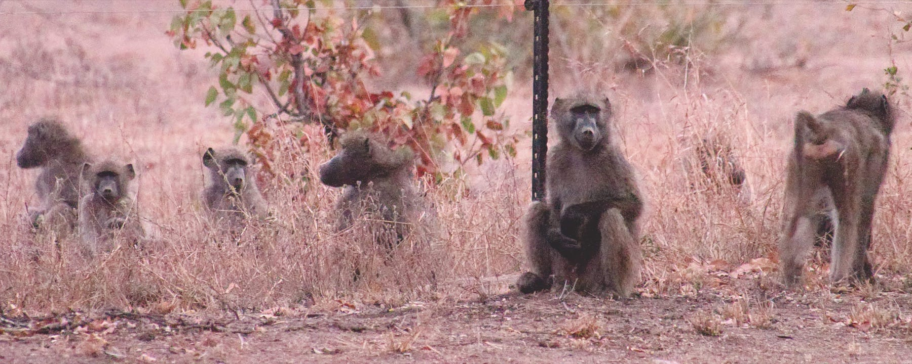 Baboons visiting the camp