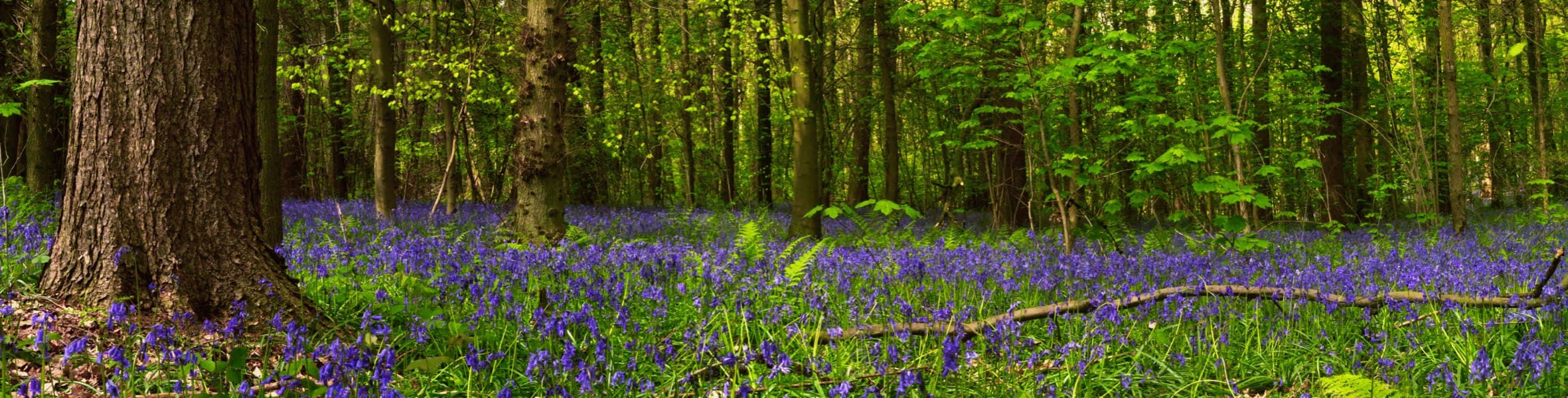 Hallerbos, a magical blue forest