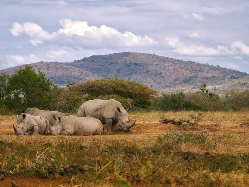 A group of white rhino in the Hluhluwe-iMfolozi reserve